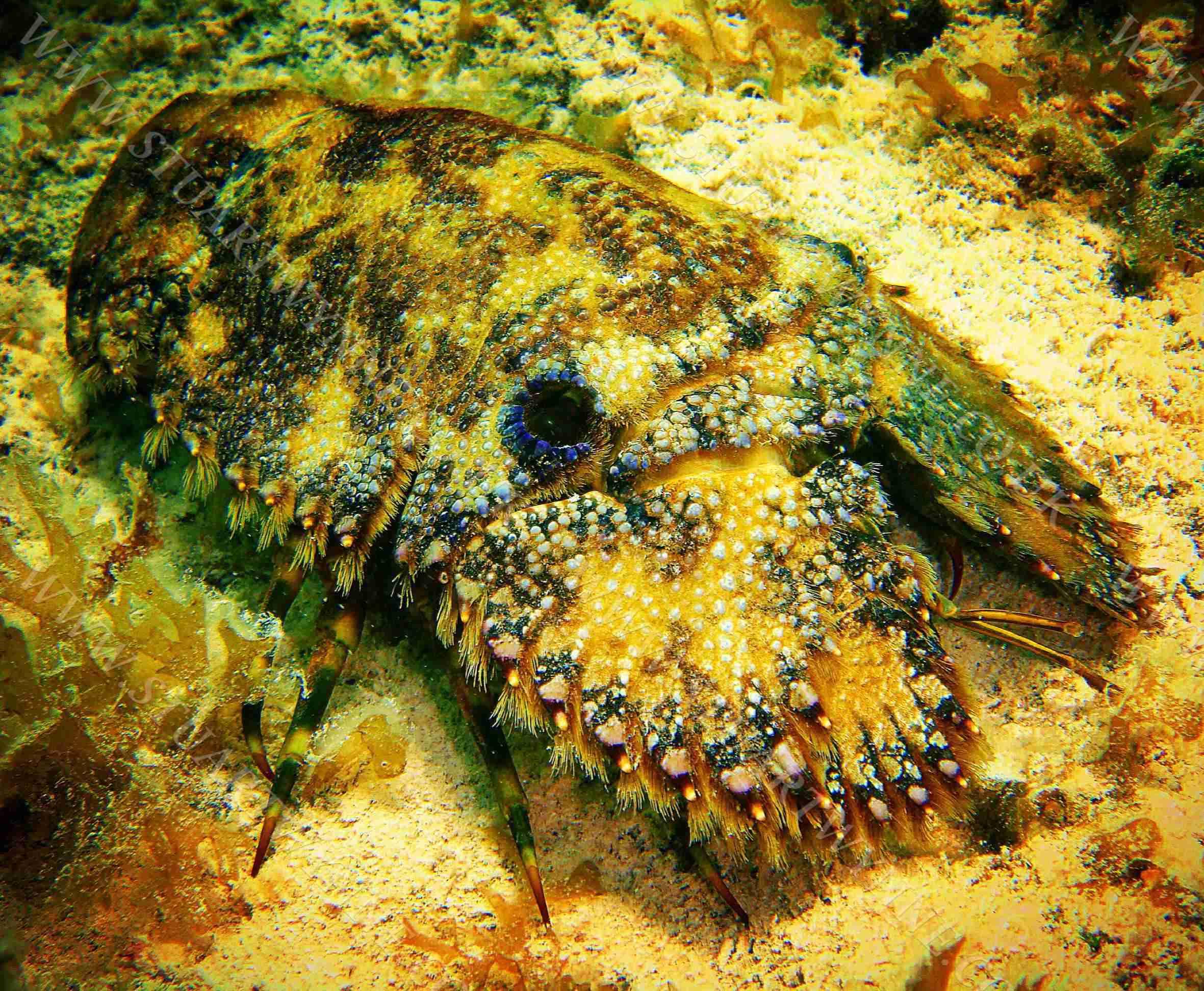 Sculptured Slipper Lobster Anguilla