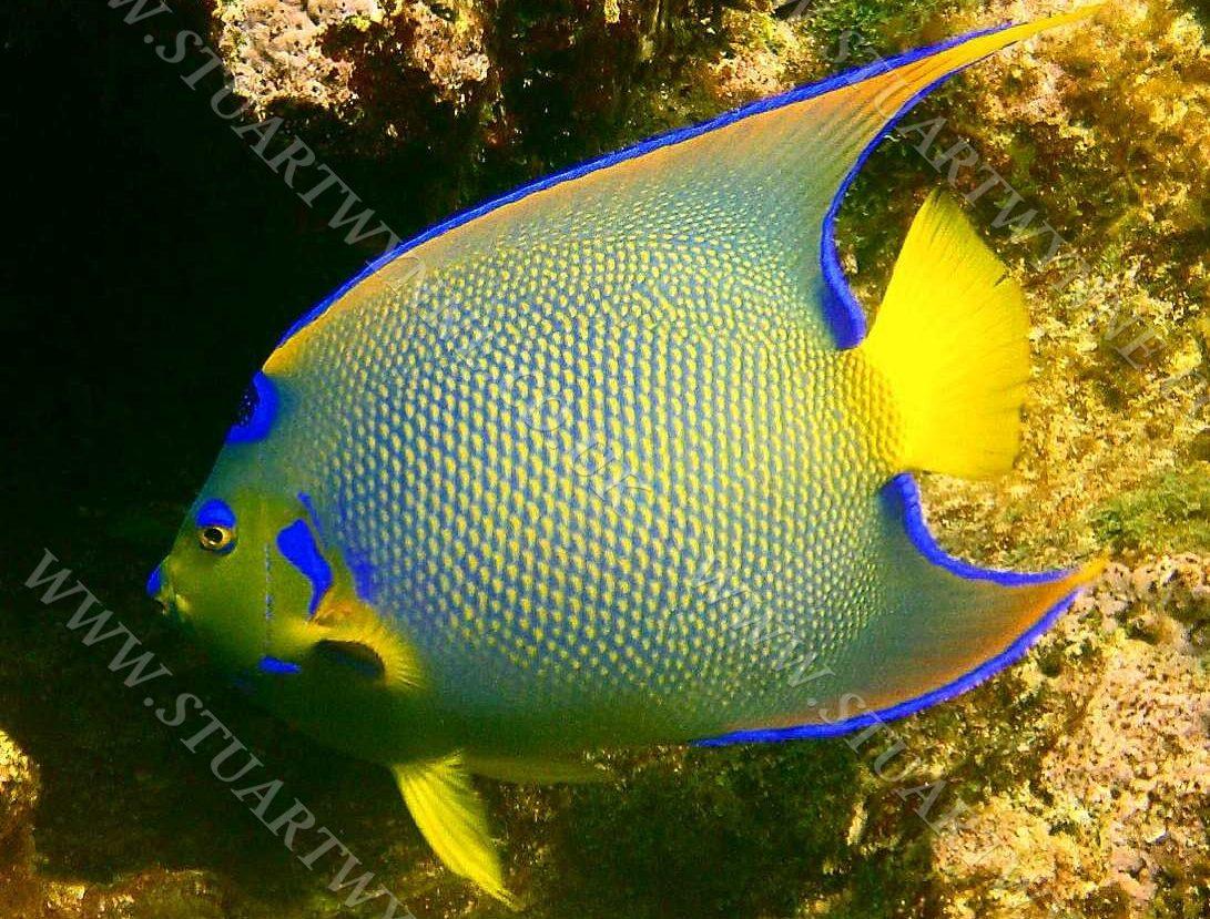 Queen Angelfish Anguilla