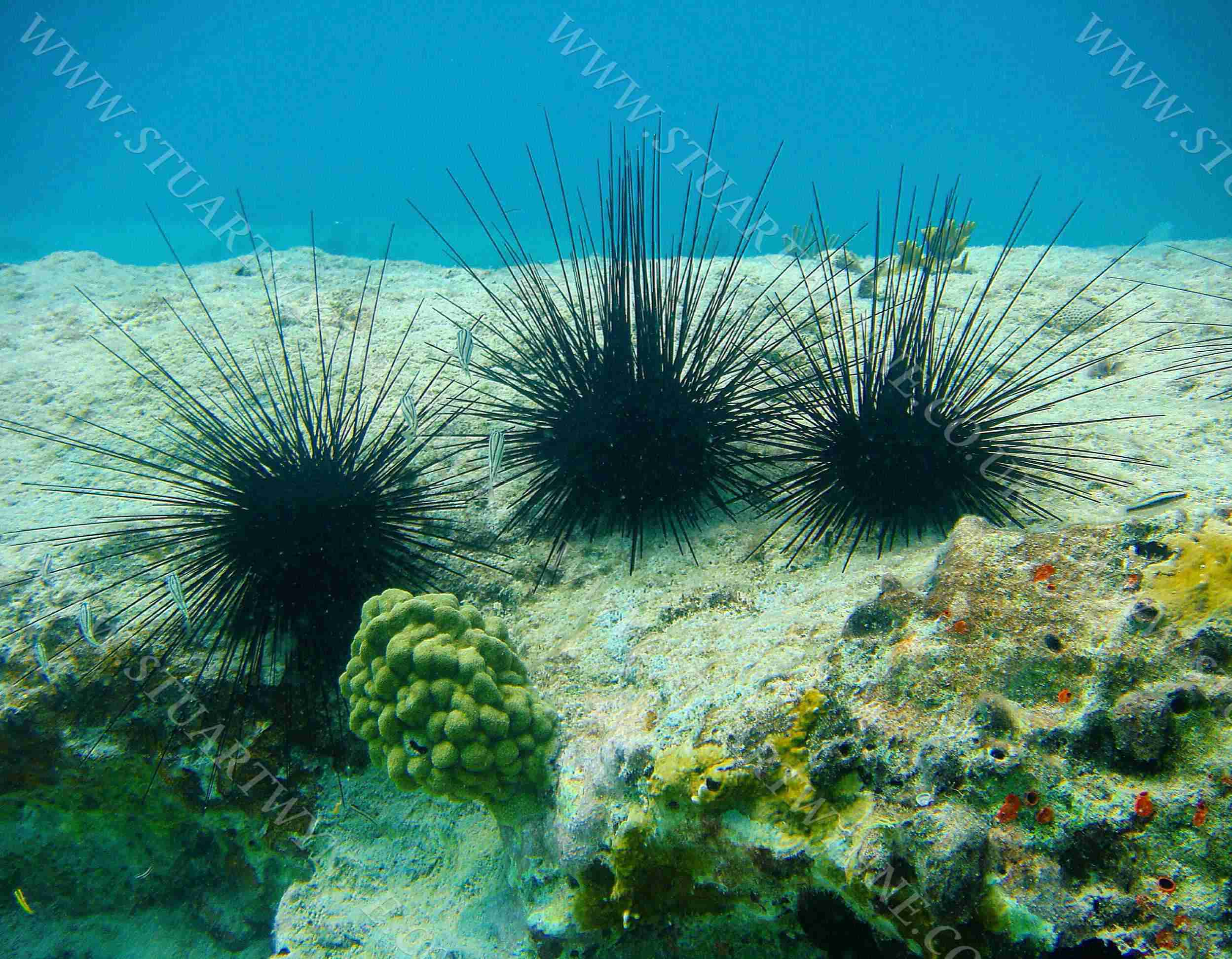 Longspined Sea Urchins Anguilla