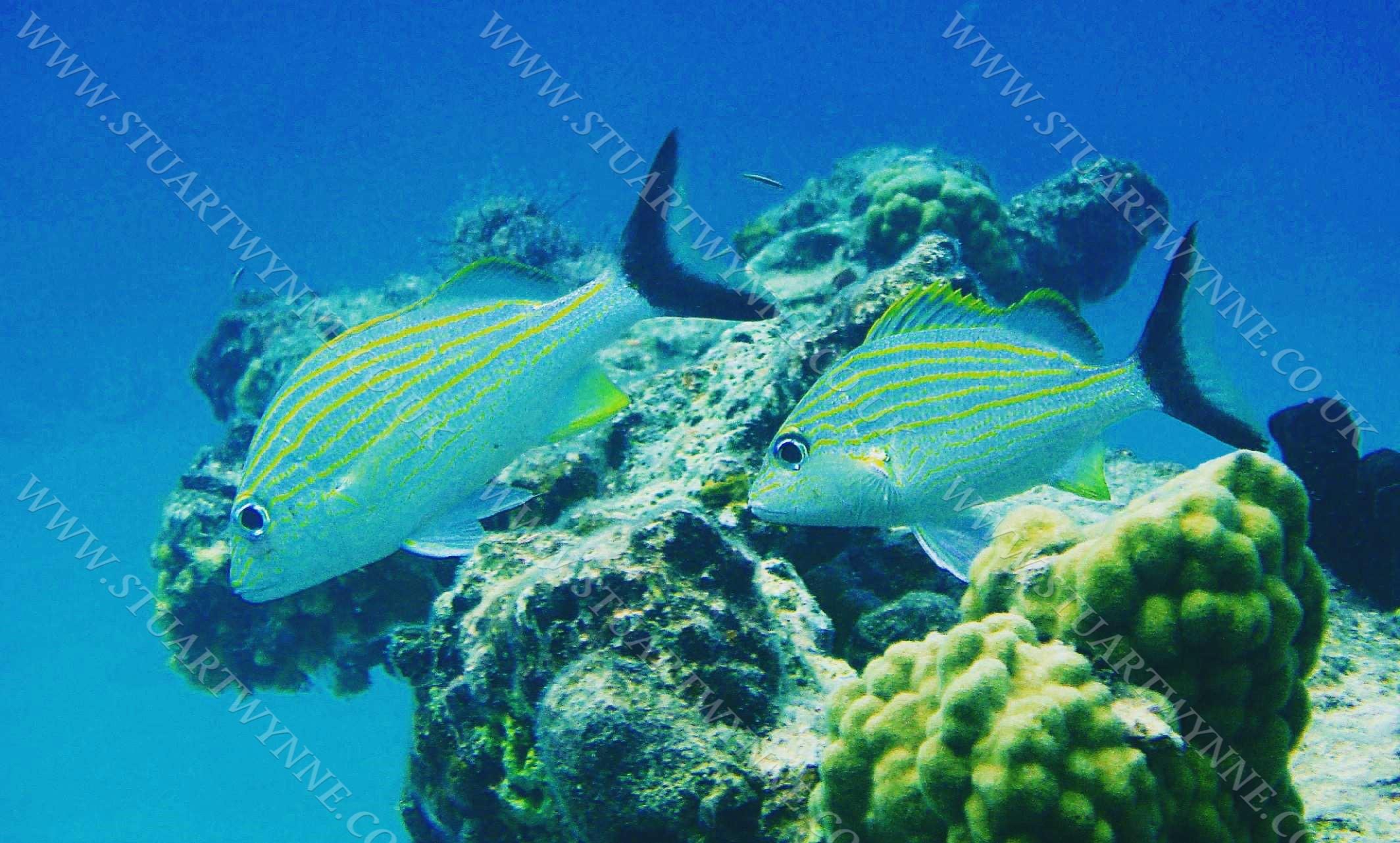 Caesar Grunts Anguilla