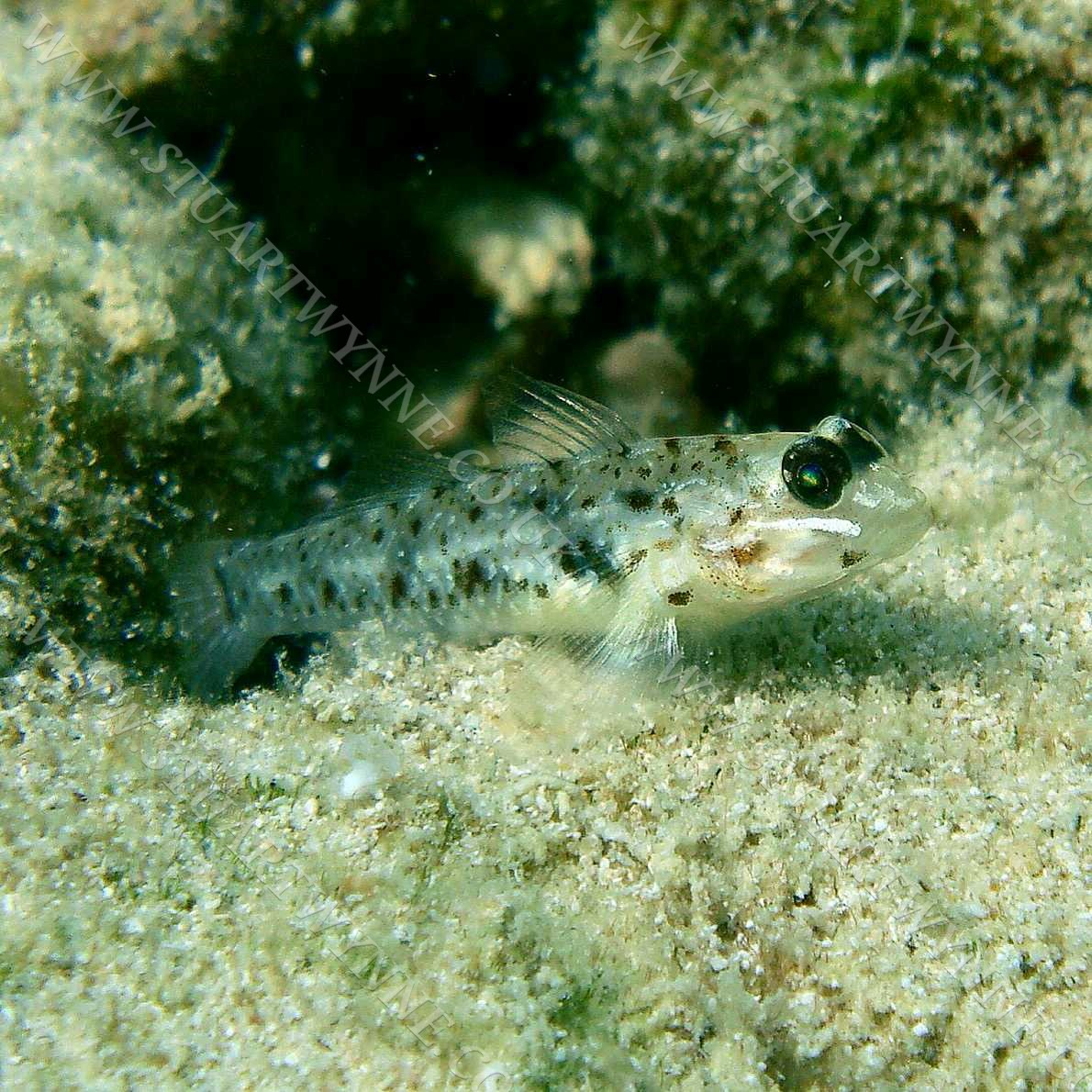 Bridled Goby Anguilla