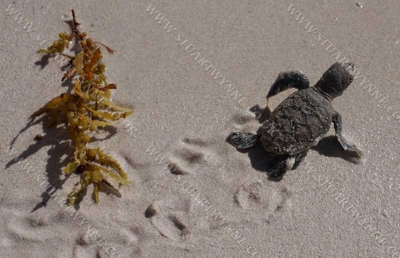 Hawksbill Turtle Hatchling Anguilla