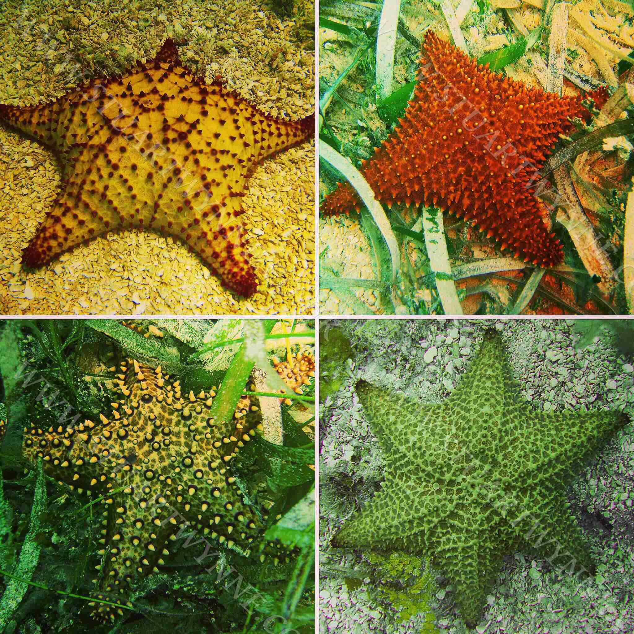 Cushion Sea Star Genetic Variants Anguilla