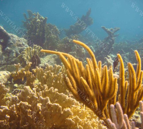 Fire and Soft Corals at Long Reef Anguilla 2016