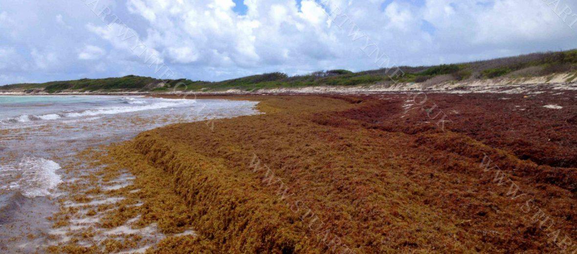 Sargassum on Savannah Bay Anguilla 2016