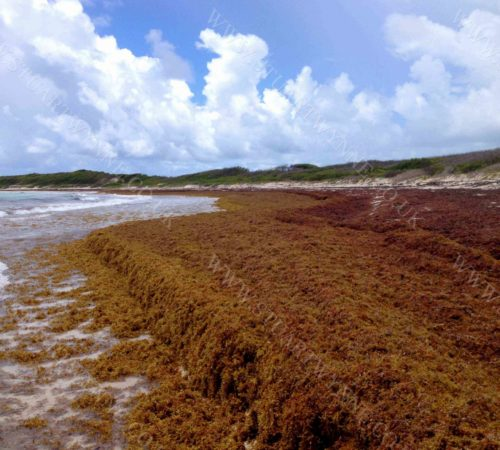 Sargassum on Savannah Bay Anguilla 2016